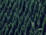 戦後人口植林された杉