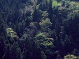 花粉の出ない杉の開発はいつのなることやら・・・