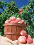 ハンノキ花粉症患者は果物過敏症を併発する事があります
