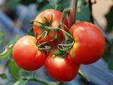 通常のトマトやトマトジュースでは花粉症に効果はないようです